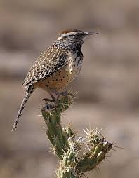 Arizona birds images List of birds of arizona wikipedia jpg