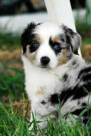 australian shepherd indiana miniature australian shepherd breeders indiana like these colors