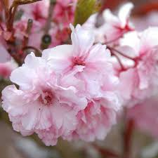 Cherry Blossom Facts by Cherry Tree U0026 Cherry Blossom Tree Gifts For Sale Buy Online