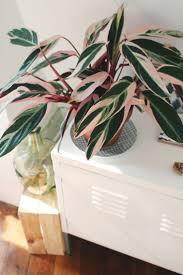 Tall Indoor Plants Low Light Top 25 Best Pink Plant Ideas On Pinterest Pink Flowers