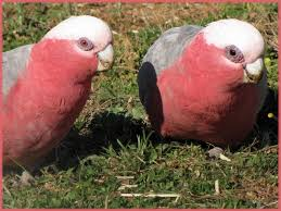 female and male galahs the female galah is the one with th u2026 flickr