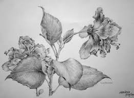 drawn hibiscus complicated pencil and in color drawn hibiscus