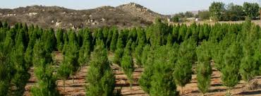 where to cut your own christmas tree in la u0026 oc cbs los angeles