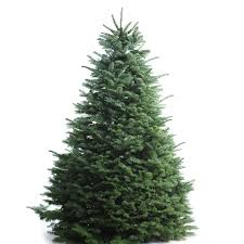 shop 5 6 ft fresh noble fir tree at lowes