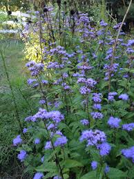 native plants in massachusetts pollinator friendly gardens new england habitat gardening blog