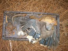 how to keep birds away from patio 6 steps to save animals stuck on glue traps peta