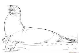 draw sea lion step step drawing tutorials