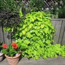 how to overwinter sweet potato vine cuttings indoors