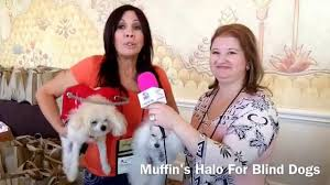 Halo For Blind Dogs Sylvie Bordeaux Of Muffin U0027s Halo For Blind Dogs Youtube