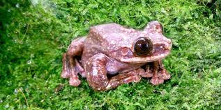 famous rare frog dies sending species to extinction