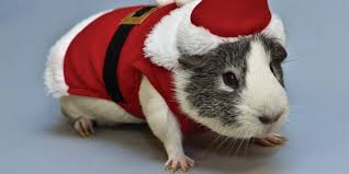 pictues very very cute unicorns related pictures guinea pig