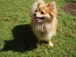 the world u0027s best photos of pomeranian and squint flickr hive mind