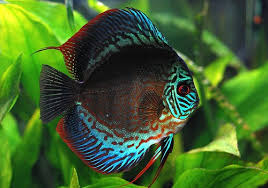 discus fish the king of aquarium tropical ornamental