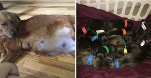 afghan hound giving birth mama dog rescued from death row gives birth to 18 puppies