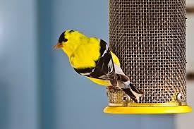 Audubon Backyard Bird Count by Participate In The Annual Great Backyard Bird Count