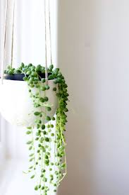 string of pearls indoor plants best plant decor ideas on pinterest