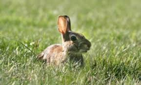 Rabbit Repellent For Gardens by Keeping Rabbits Out Of Your Garden Thriftyfun