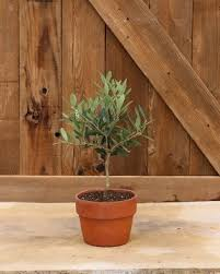 Outdoor Topiary Trees Wholesale - live ball topiary plants ivy cypress rosemary fresh topiary