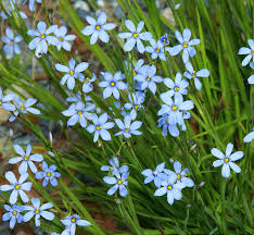 blue note blue eyed grass monrovia blue note blue eyed grass