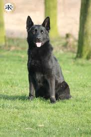 belgian sheepdog uk dogs for sale total k9