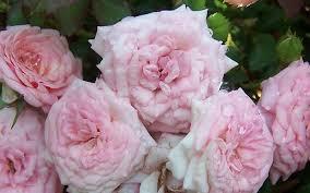 drift roses drift 2 gallon