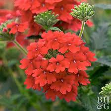 verbena flower 101334916 jpg rendition largest jpg
