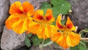 nasturtium flowers nasturtium herb uses benefits and medicinal properties