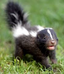 skunk affairs offend humans newstimes