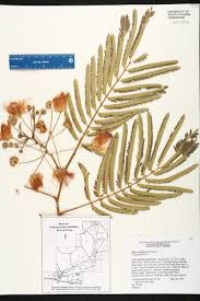Map Of Florida State Parks by Albizia Julibrissin Species Page Isb Atlas Of Florida Plants