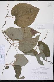 native plants of louisiana aristolochia tomentosa species page isb atlas of florida plants