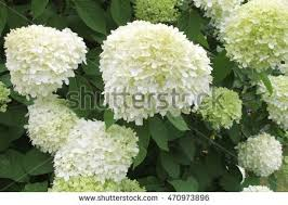 White Hydrangeas White Hydrangea Stock Images Royalty Free Images U0026 Vectors