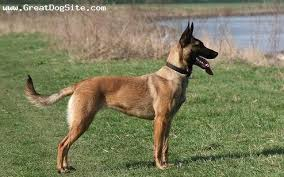 belgian shepherd sydney the quest for my next service dog dog day