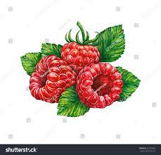 great illustration raspberry isolated on white stock illustration