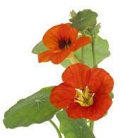 nasturtium flowers meaning of nasturtiums what do nasturtium flowers