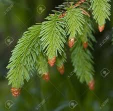 up of needle like leaves of fir tree on green background