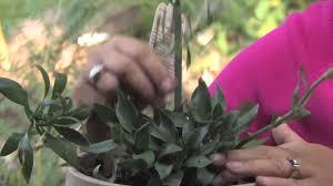 Alstroemeria Plant Care Tips How To Grow Alstroemeria Youtube