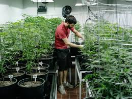 legal marijuana faces another federal hurdle taxes the new york