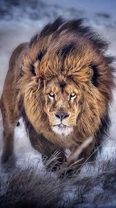 25 lion lioness ideas lion couple lion