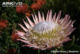 protea flower king protea photos and facts protea cynaroides arkive