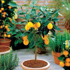 indoor citrus trees and feng shui feng shui garden the tao of dana