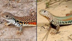 Seeking Lizard Episode New Lizard Species Discovered In Self Cloning And A Tasty