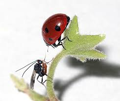 pictures wasps turn ladybugs into flailing