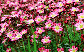 rockery plants top 10 plants for an alpine rock garden david