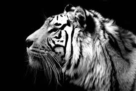 white tiger wallpaper for android free subwallpaper