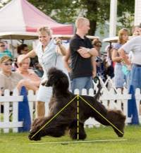 afghan hound judging list dog gait or movement terminology janedogs