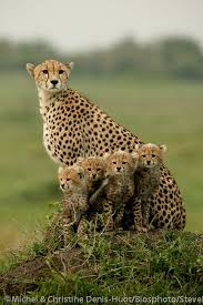 affectionate cheetahs wallpapers 76 best cheetahs images on pinterest baby animals wild animals