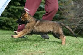 belgian sheepdog breeders ontario von rothhaus german shepherds ducati
