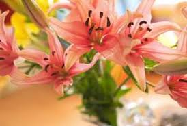 asian lilies best ways to care for the asiatic home guides sf gate