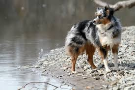 australian shepherd history are australian shepherds good family dogs canna pet