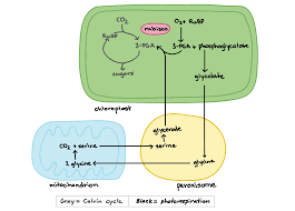 diagram of photosynthesis process schematics wiring diagram